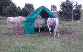 Horses sharing their field shelter