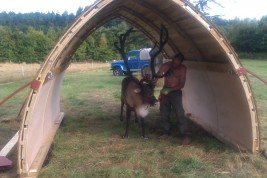 Reindeer in an arc shaped field shelter