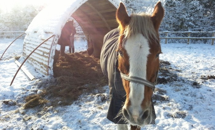 Horses with the field shelter in the snow