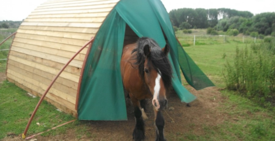 Horse coming our of field shelter